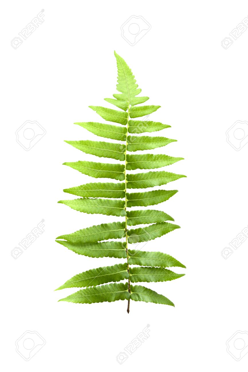 green fern leaf isolated on white background Stock Photo - 19984459