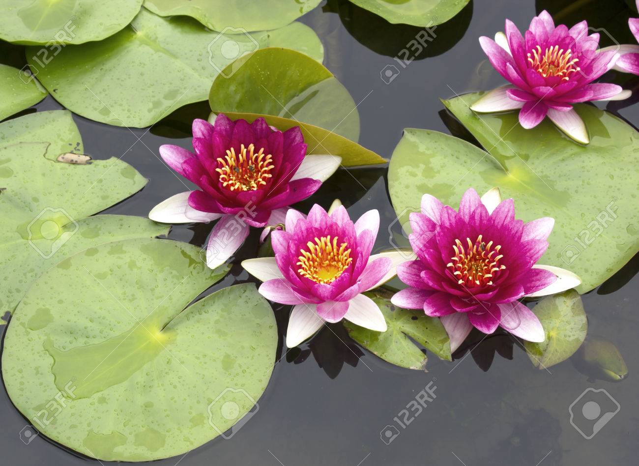 This beautiful waterlily or lotus flower is complimented by the stock photo this beautiful waterlily or lotus flower is complimented by the rich colors of the deep blue water surface saturated colors and vibrant izmirmasajfo