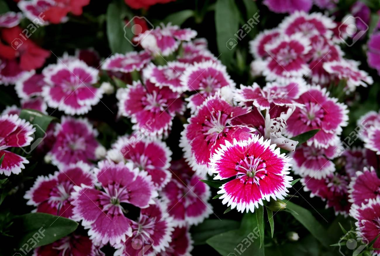 Pink flowers with white rim stock photo picture and royalty free pink flowers with white rim stock photo 87005746 mightylinksfo