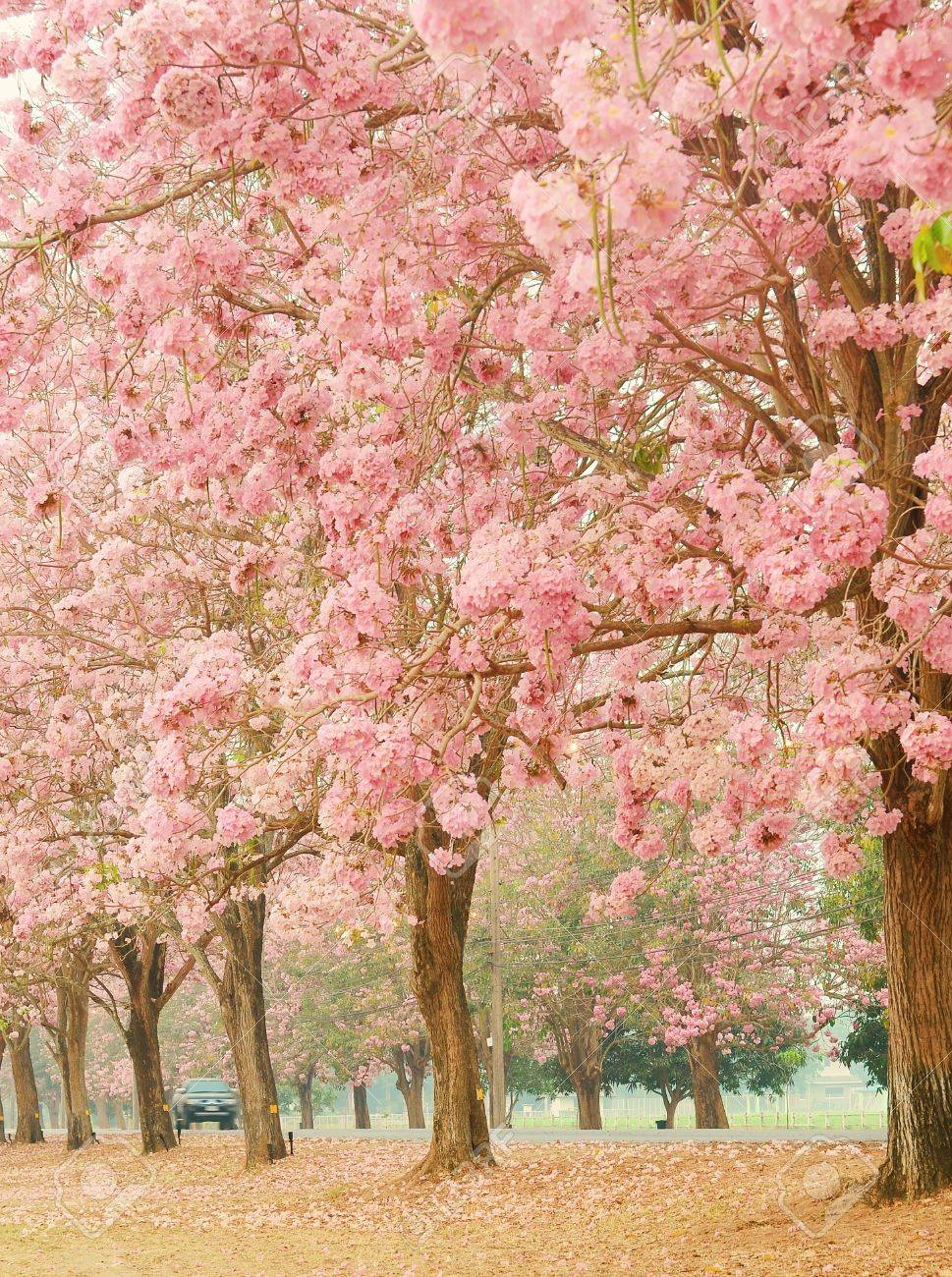 Pink Flower Trees In Garden Thailand Stock Photo Picture And