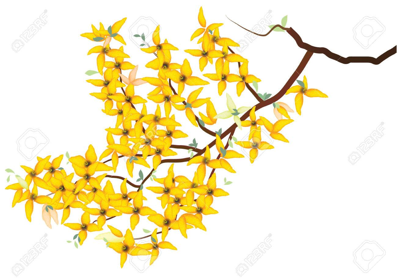 Forsythia Weeping Yellow Flowers With Branch On White Background