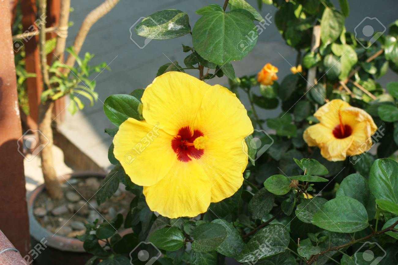 Yellow Hibiscus Flower With Green Leaves On The Garden Stock Photo