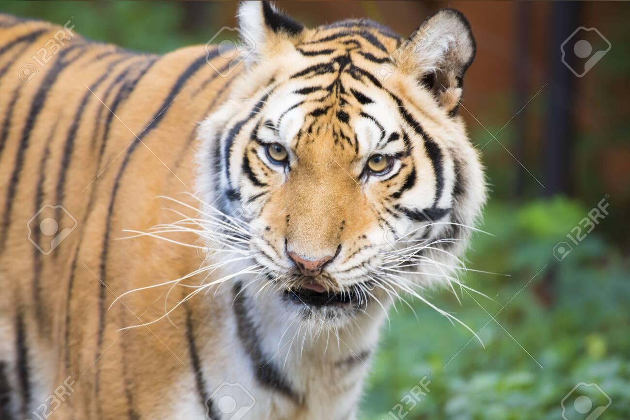 Tiger, A mammal in jungle - 144485603