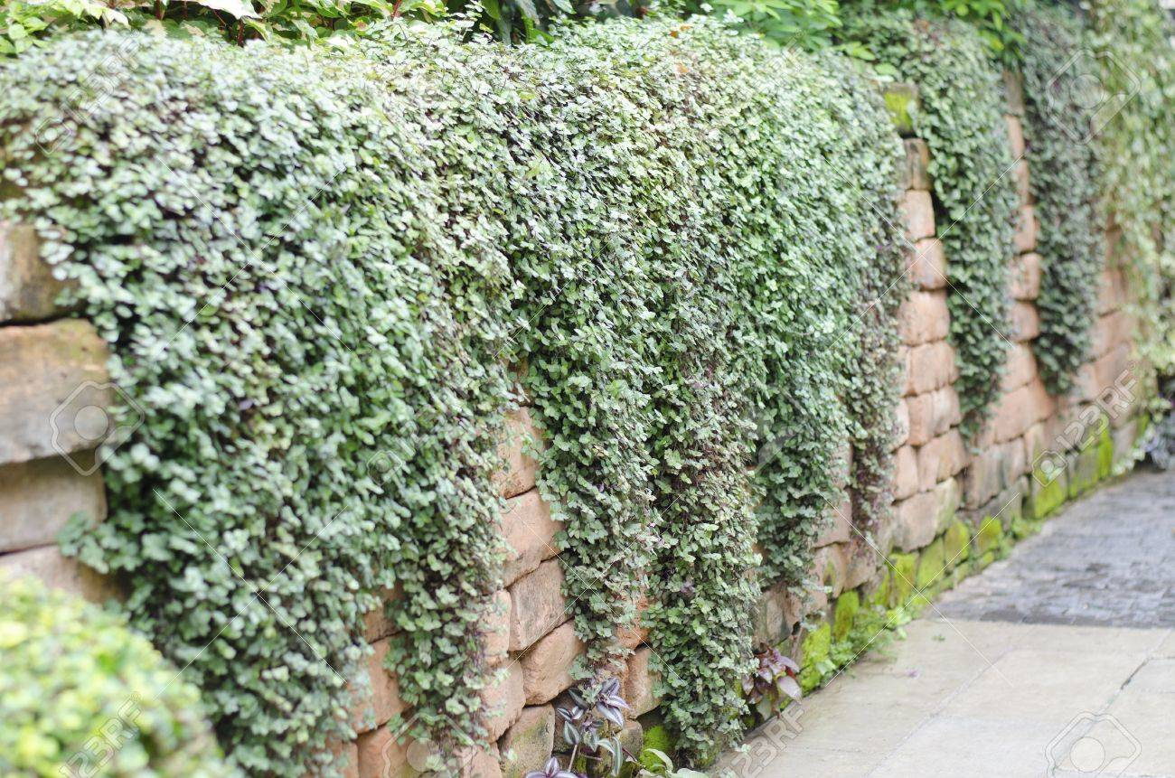 Green Ivy On The Brick Wall In Garden Stock Photo Picture And