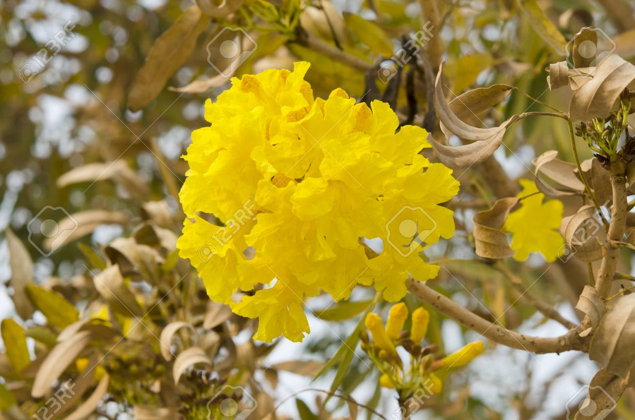 Yellow Flowers Or Silver Trumpet Tree Bloom In Spring Stock Photo