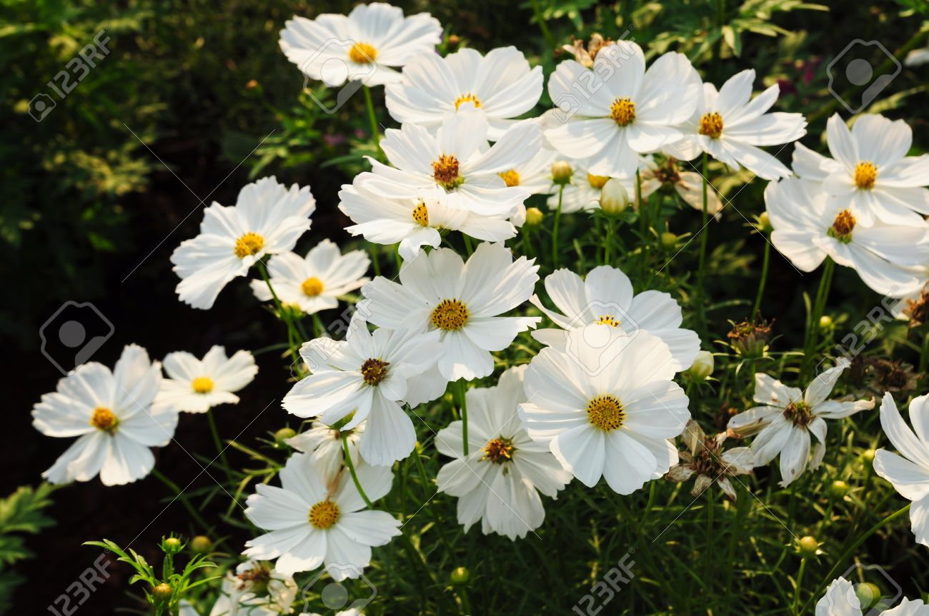 White Cosmos Flower Stock Photo Picture And Royalty Free Image