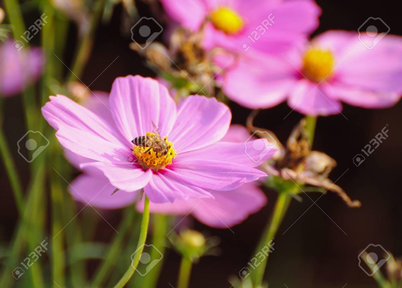Cosmos Flowers Stock Photo - 9898275
