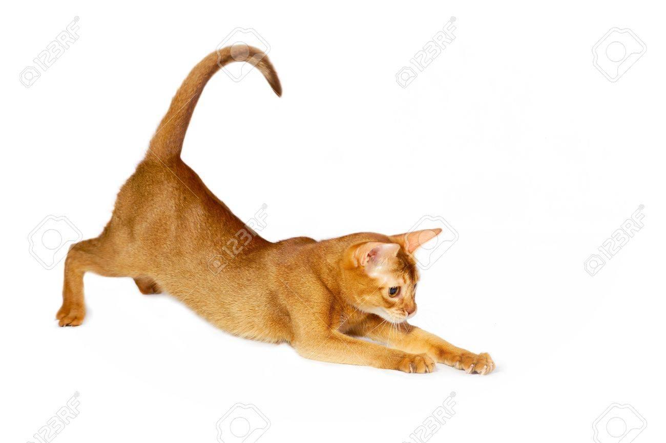 Abyssinian Cat Sorrel