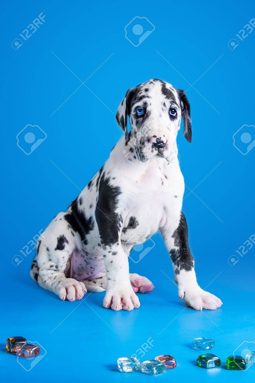 Harlequin Great Dane Puppy With Colored Glass On The Blue Background Stock Photo Picture And Royalty Free Image Image 31041917