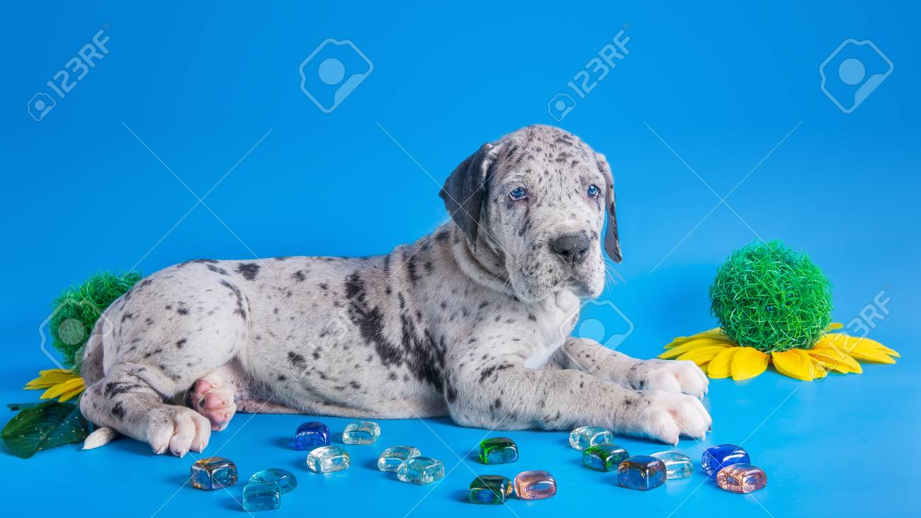 Merlequin Great Dane Puppy With Colored Glass And Flower On The Stock Photo Picture And Royalty Free Image Image 31041924