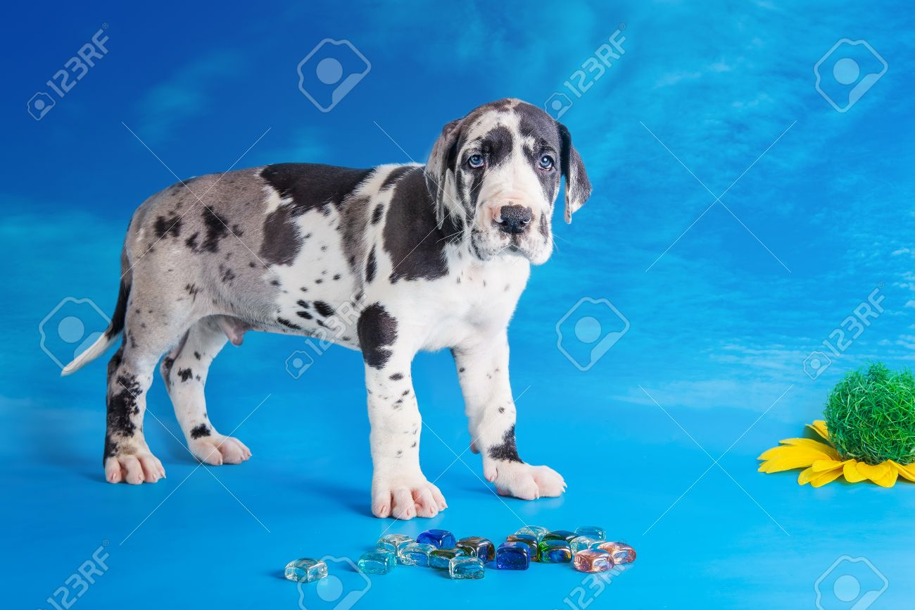 Harlequin Great Dane Images & Stock Pictures. Royalty Free ...