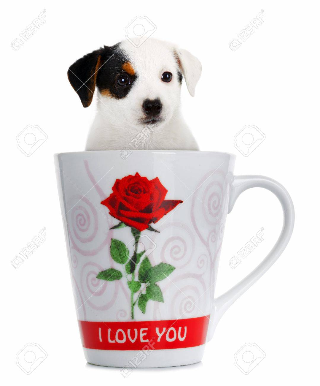 Jack Russell puppy in the cup on white background Stock Photo - 22807829