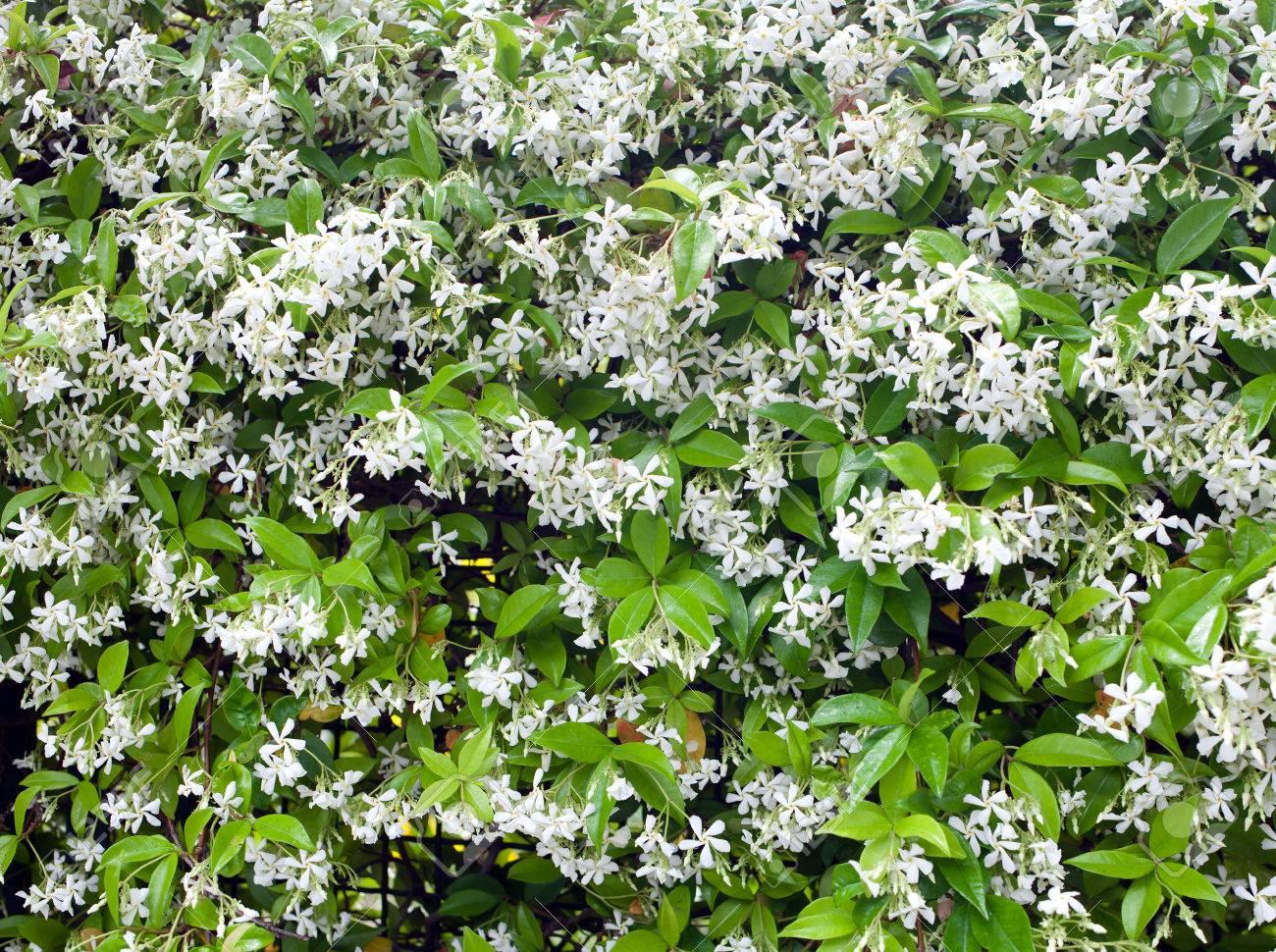 Group of white sampaguita jasmine or arabian jasmine flower stock group of white sampaguita jasmine or arabian jasmine flower stock photo 29450844 izmirmasajfo