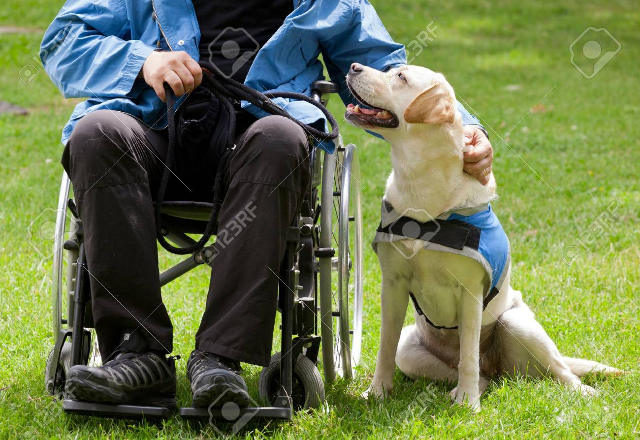 Labrador guide dog and his disabled owner on green grass. - 59830162