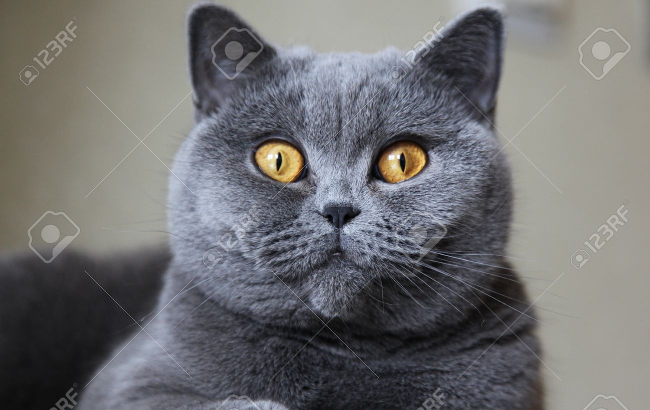 Lady Cat Breeds British Shorthair Blue Color Stock Picture