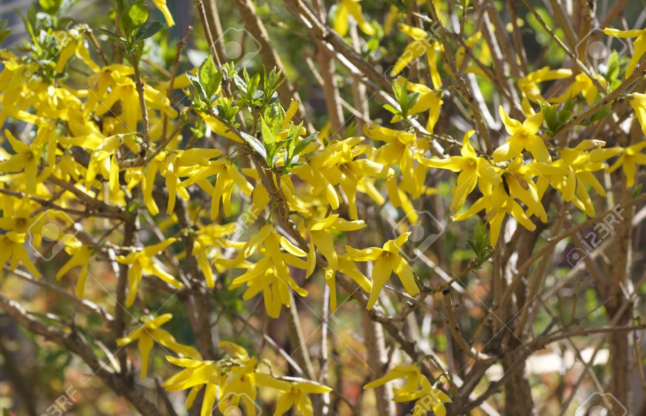 Yellow Flowers In Bloom In The Spring Garden Stock Photo Picture