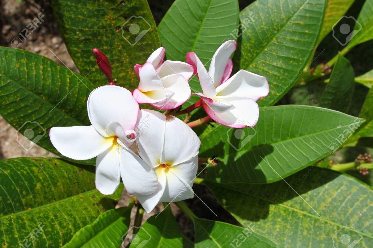 Lumineux Fleur Tropicale Blanche En Fleur Koh Samui En Thailande En