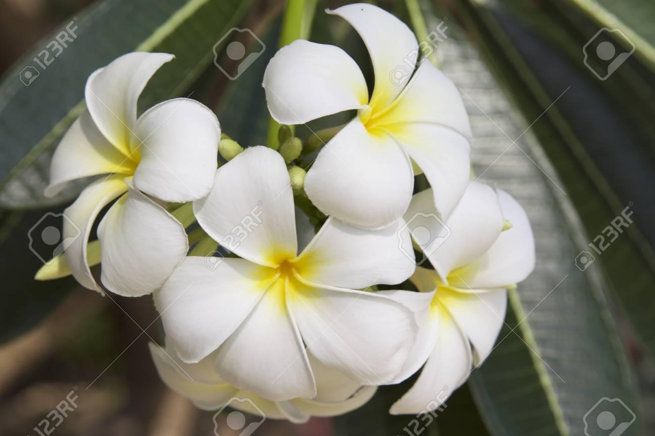 Floraison Blanche Fleur Tropicale La Thailande L Asie Du Sud Est