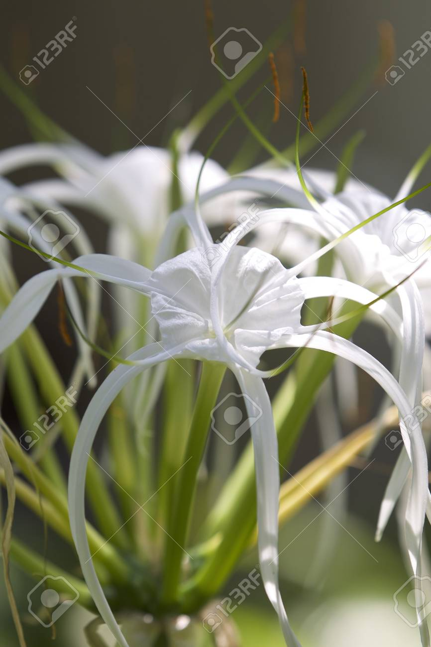 White Tropical Cultivated Flowers With Long Petals Myanmar Stock