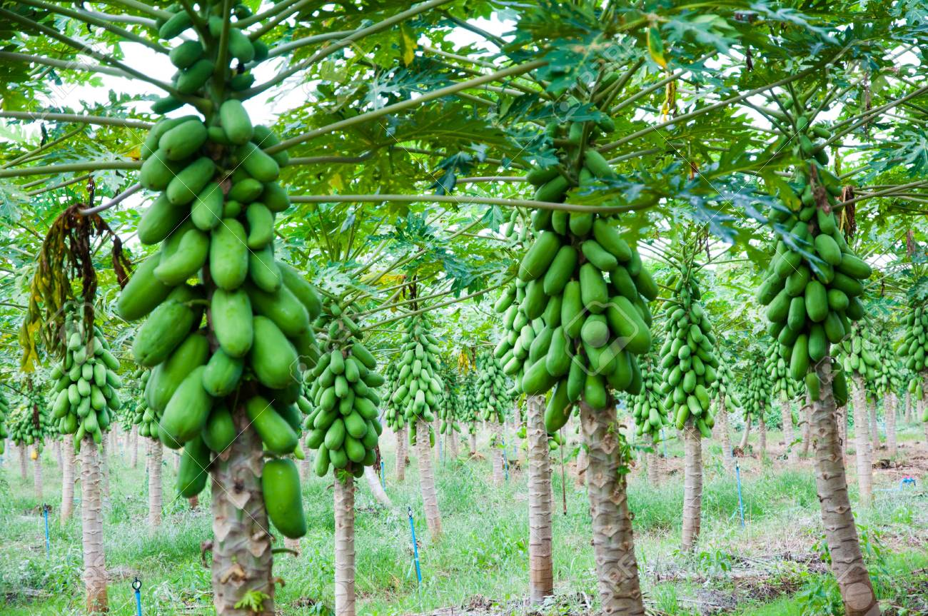 Papaya Tree Stock Photo Picture And Royalty Free Image 24917747