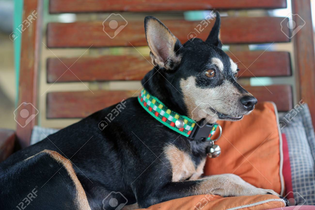 Fantastic Black Miniature Pinscher Dog On The Rocking Chair Squirreltailoven Fun Painted Chair Ideas Images Squirreltailovenorg