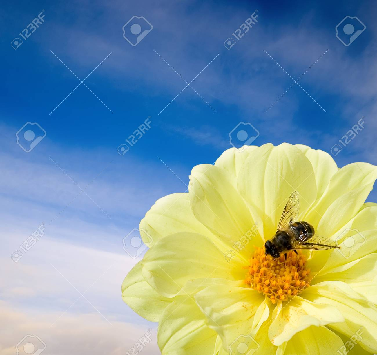 A flower and a bee. The concept of peace and tranquility. Stock Photo - 4094033