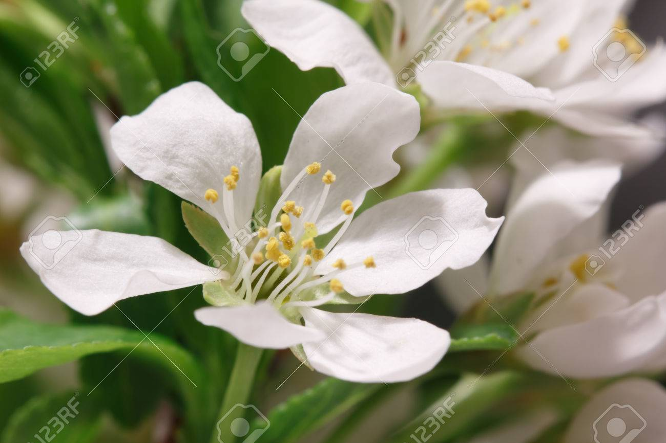 Mayflower Flower A Branch With Lots Of White Flowers Close Up Stock