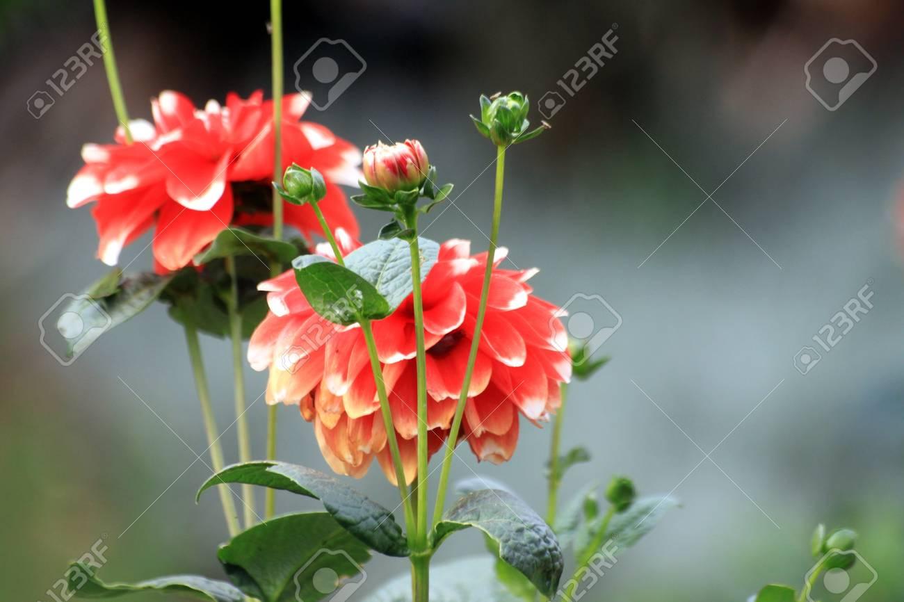 red flower in the garden Stock Photo - 12927912