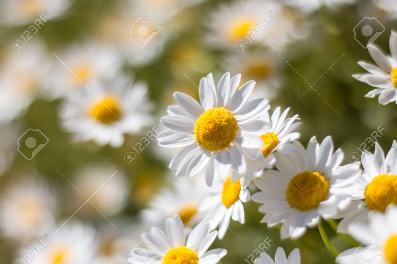 Beautiful White Daisies Flowers Stock Photo Picture And Royalty