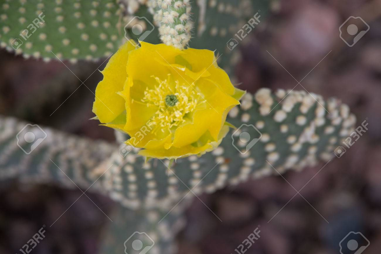 Yellow Cactus Flower Devils Tongue Or Eastern Prickly Pear