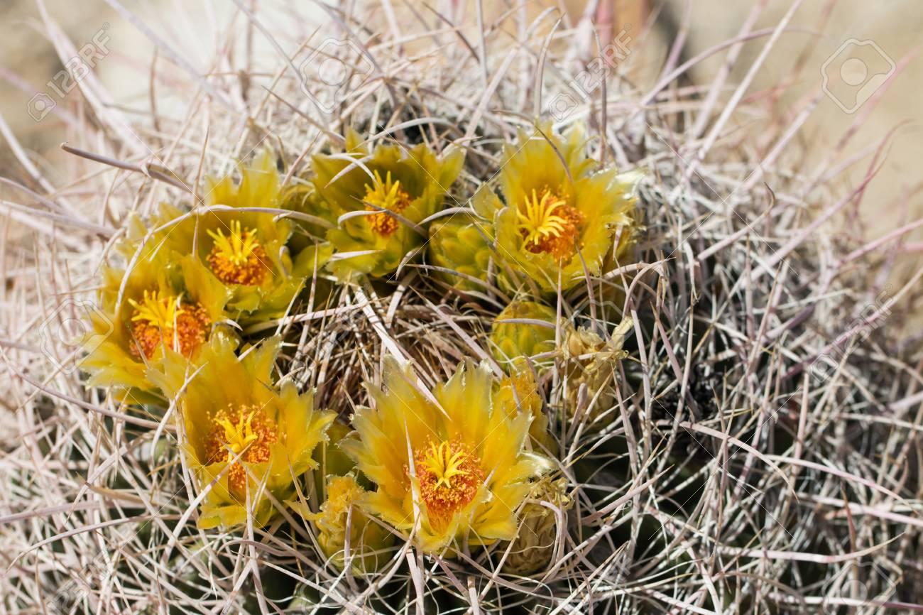 Beautiful Blooming Wild Desert Yellow Cactus Flowers Stock Photo