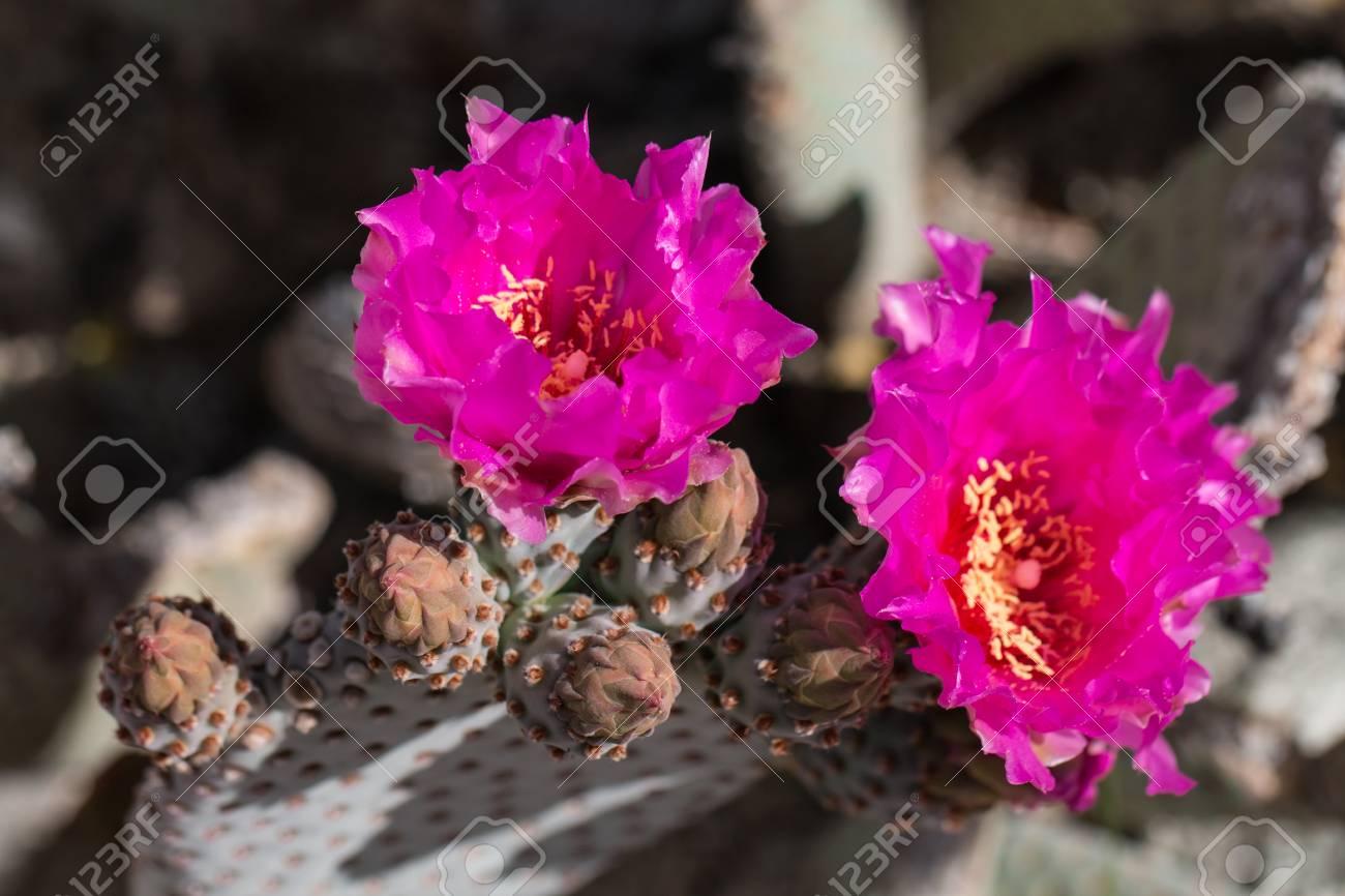 Beautiful Blooming Wild Desert Pink Cactus Flowers Stock Photo