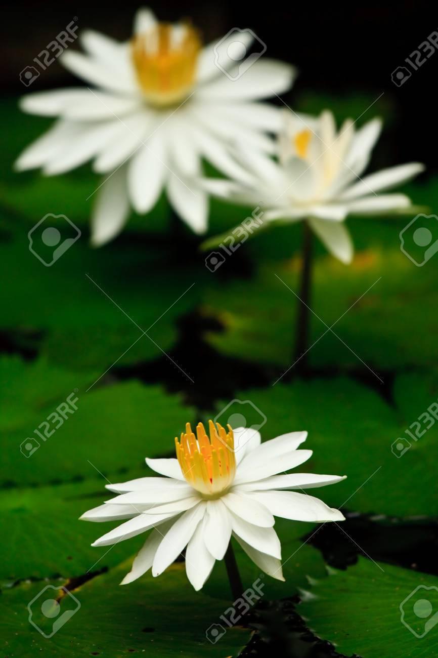 White lotus Stock Photo - 7651369