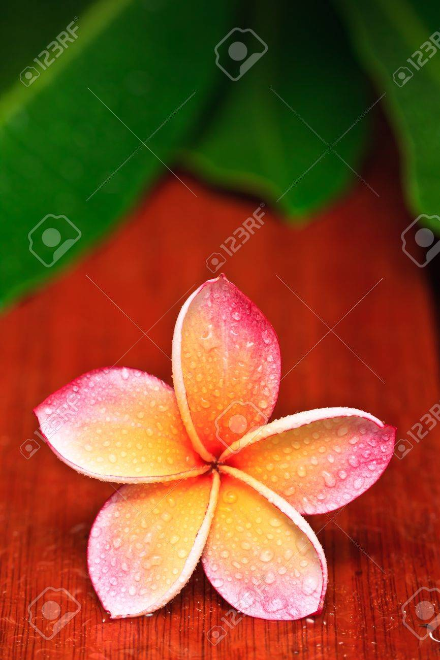 Drops of water on tropical flower, Plumeria Stock Photo - 10245439