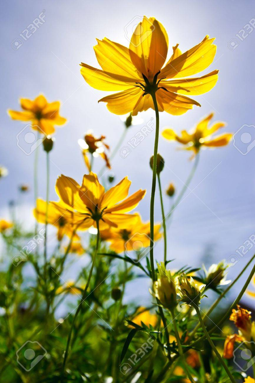 Cosmos and blue sky Stock Photo - 10336643