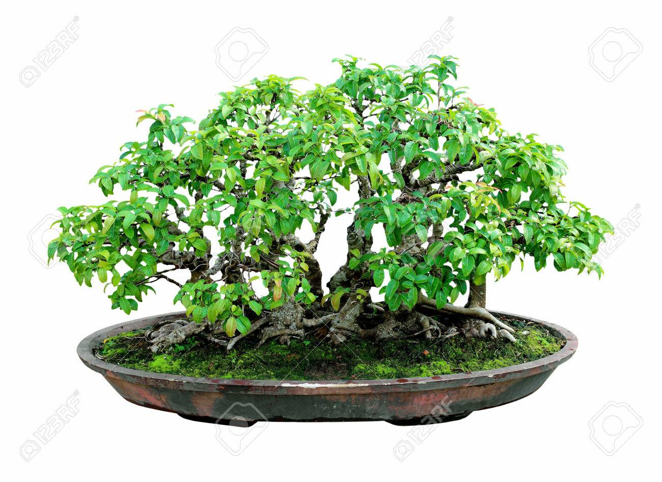 Bonsai Tree With White Backgroundgeneral Decoration In The