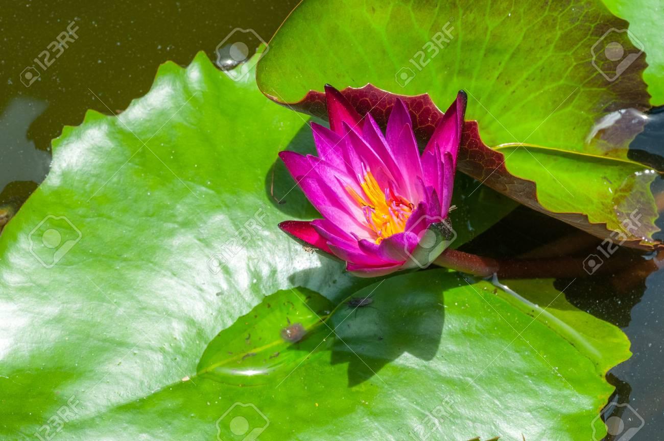 Close up purple thai lotus its beautiful flower stock photo close up purple thai lotus its beautiful flower stock photo 21352811 izmirmasajfo