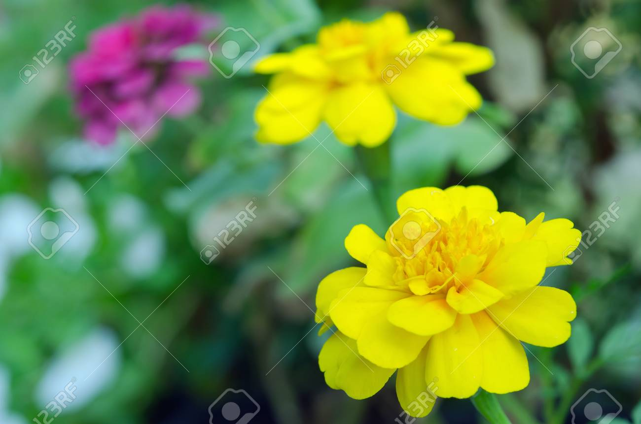 Yellow Aster Flower Science Name Callistephus Chinensis Family