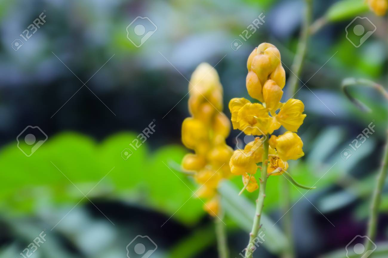 Yellow Flower Of Digestive Herbs Name Ringworm Bush Also Called