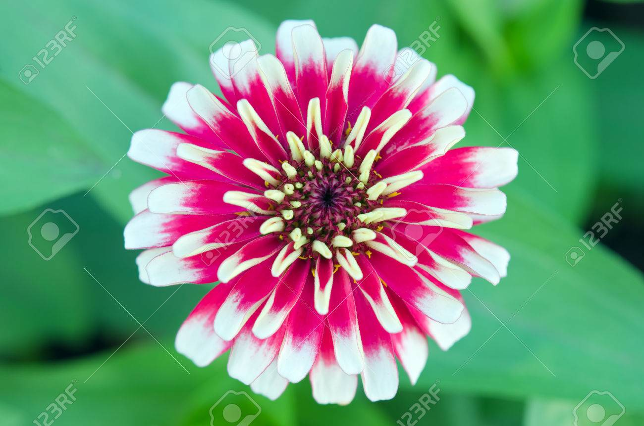 Aster Flower White And Red Hybrid Also Called As Callistephus