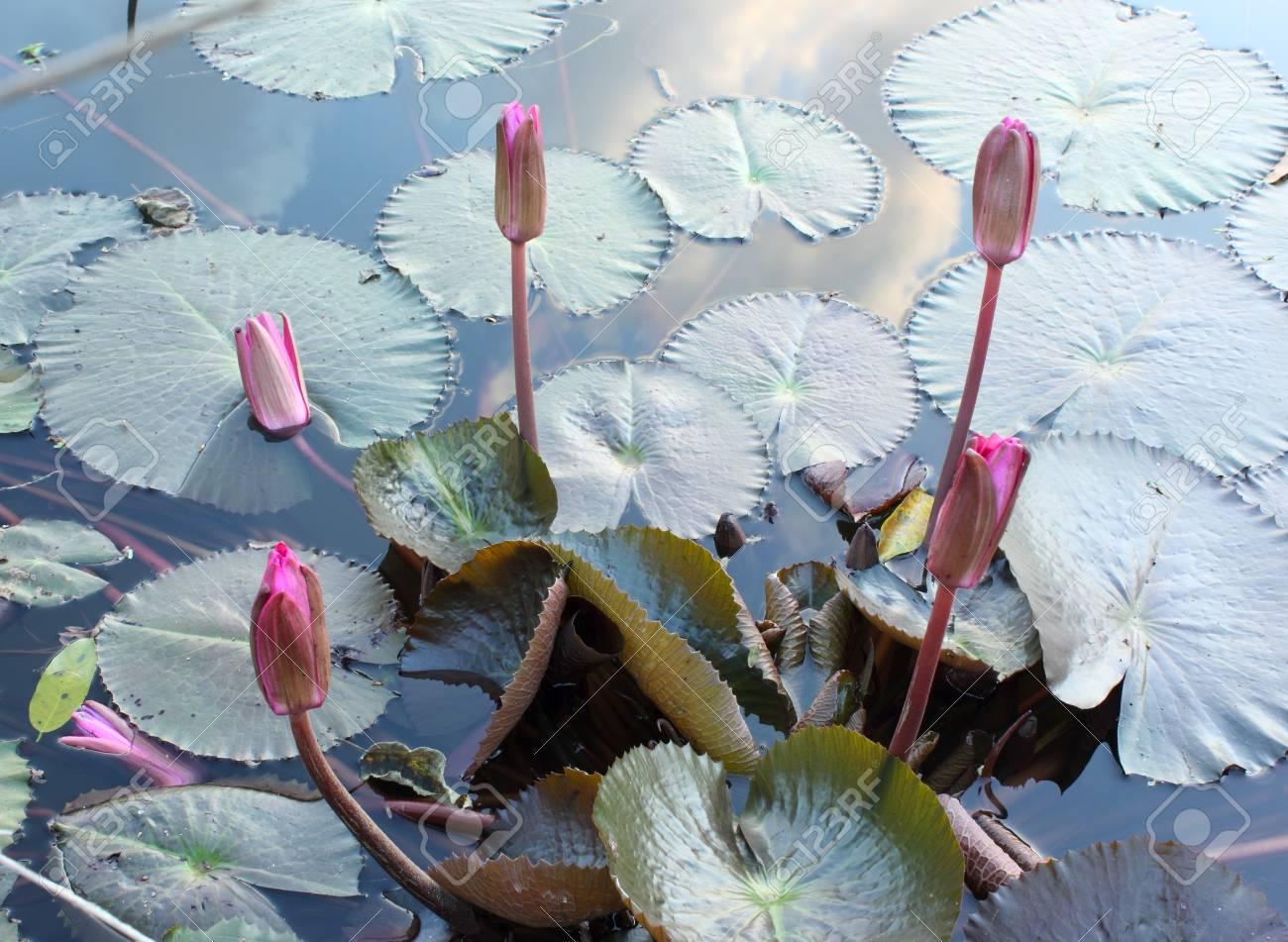 Close Up Shot of  Lotus Pink Buds Stock Photo - 17150025