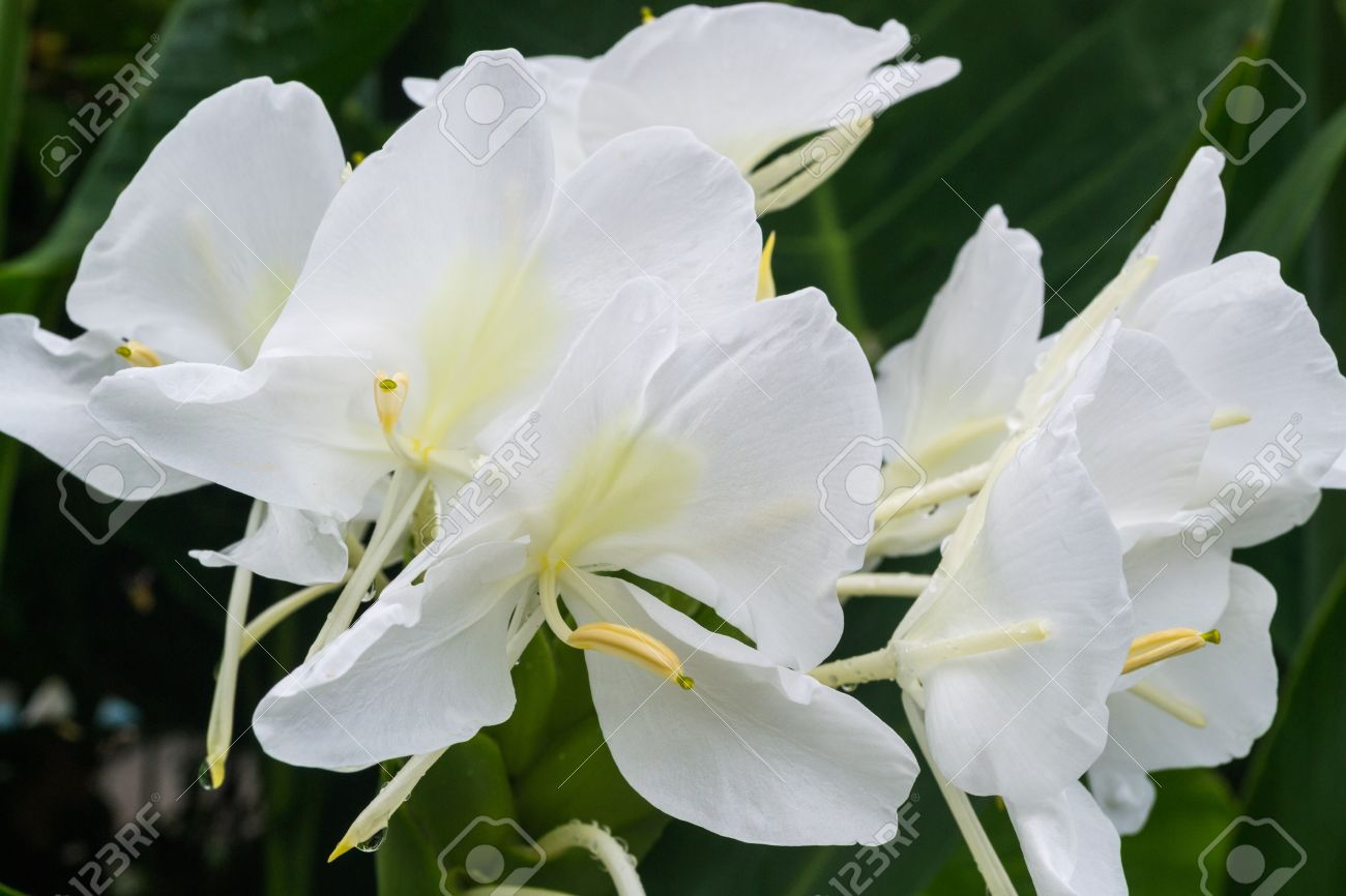 White Ginger Flower Is A Kind Of Tropical Plant Stock Photo Picture