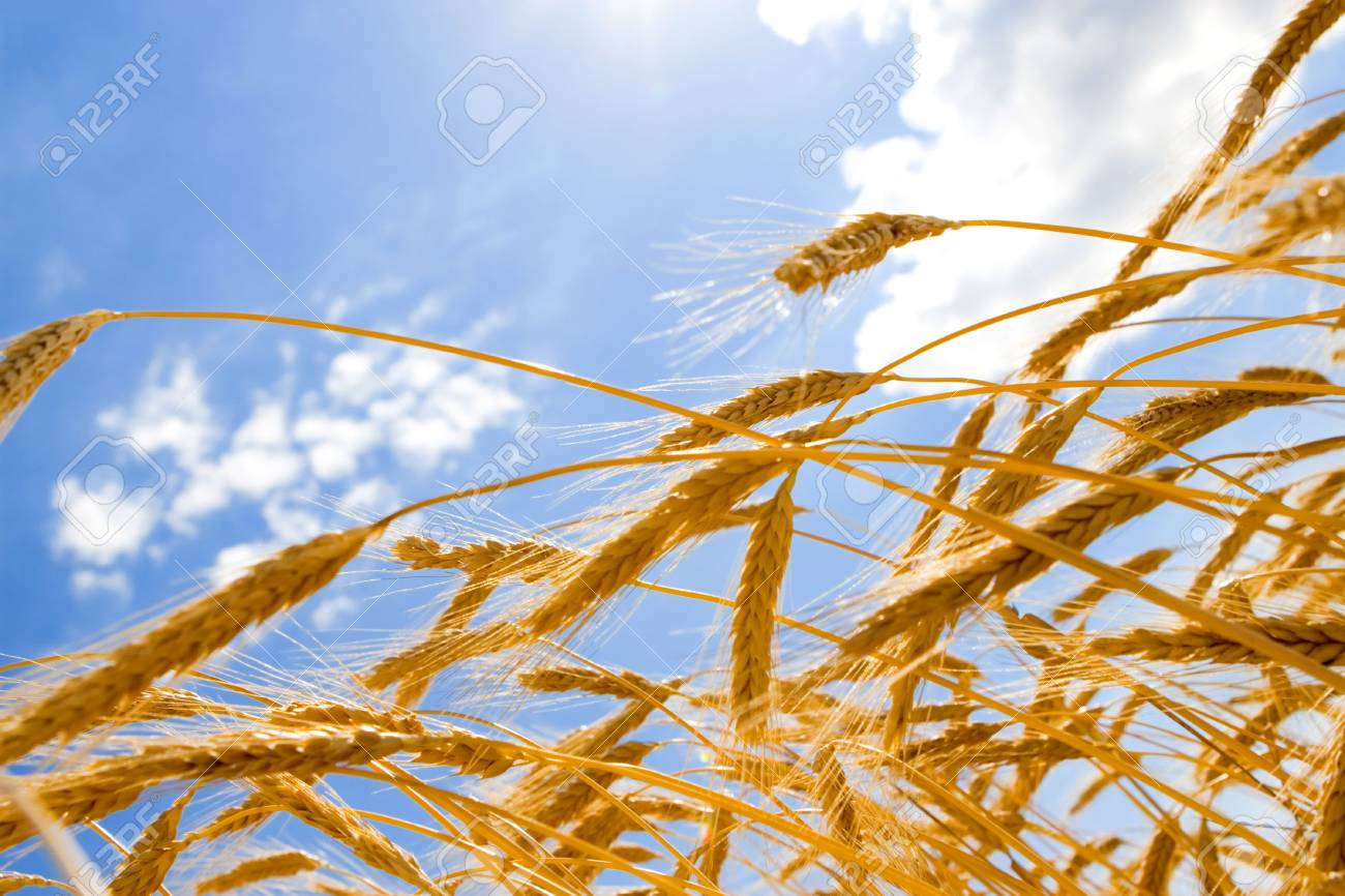 golden wheat in the blue sky background Stock Photo - 5184882