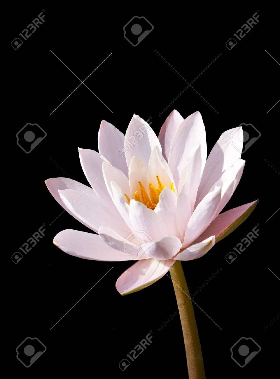 isotated: lotus on black background Stock Photo - 8556288
