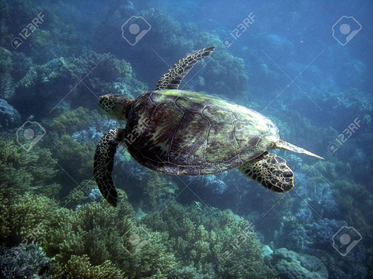 Sea Turtle in Great Barrier Reef - Australia Stock Photo - 4959157