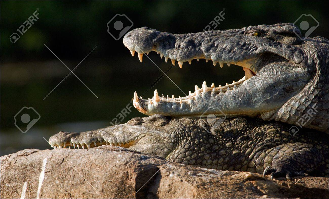 The Nile crocodile lies on a stone and from a heat has widely opened a mouth, showing huge teeth. Stock Photo - 7745119