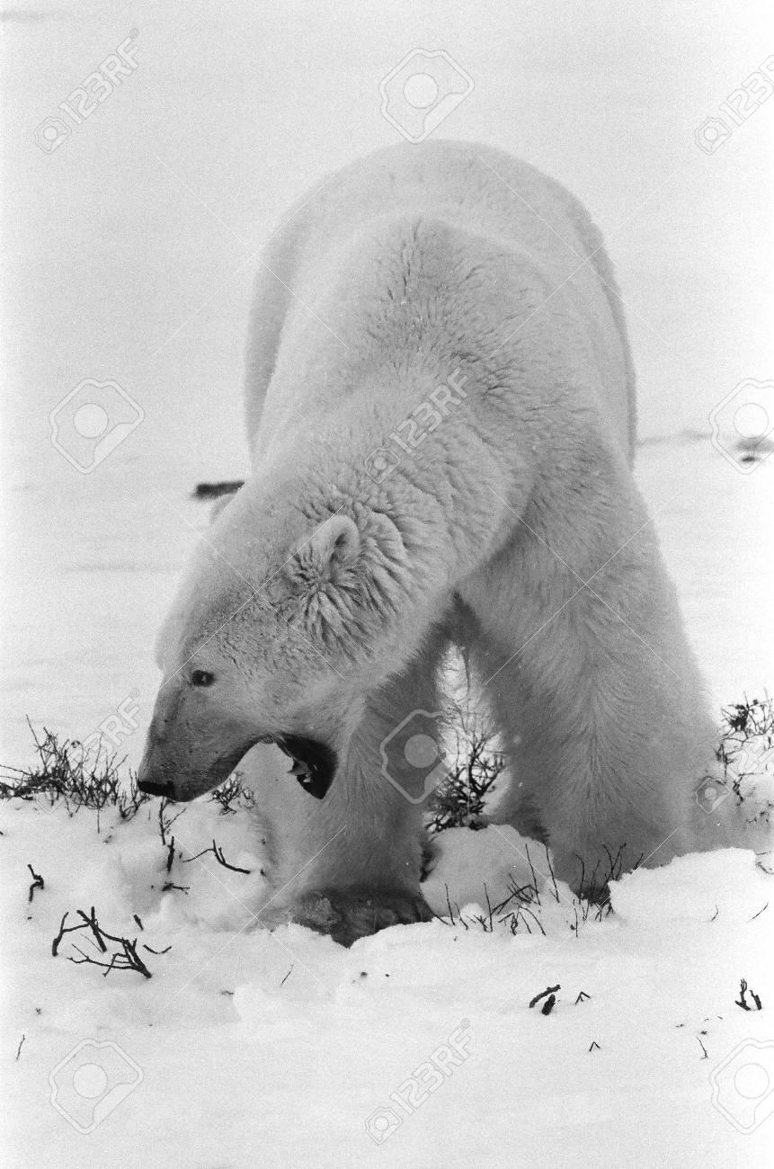Portrait of a yawning polar bear. Close up a portrait of a polar bear. Close. Stock Photo - 8353472
