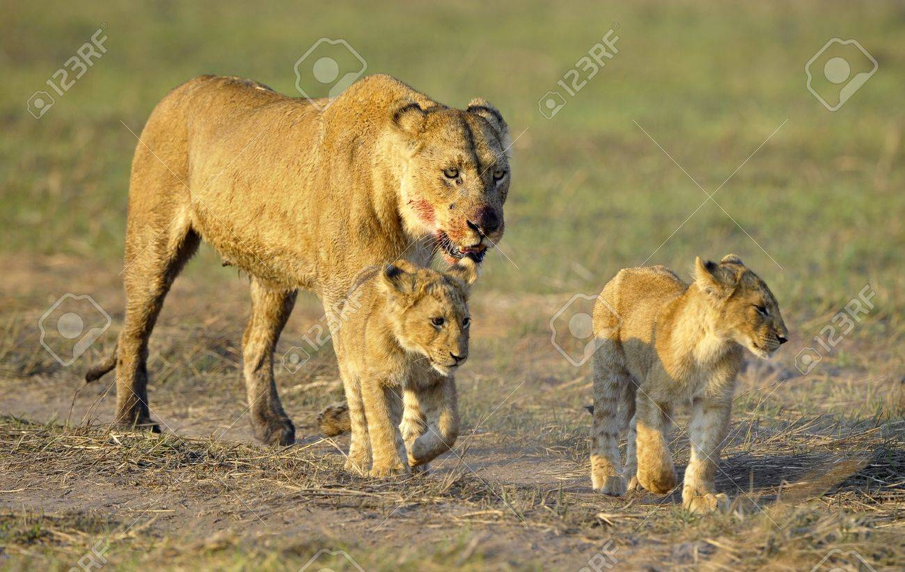 Lioness after hunting with cubs. The lioness with a blood-stained muzzle has returned from hunting to the kids to young lions. Stock Photo - 8477141