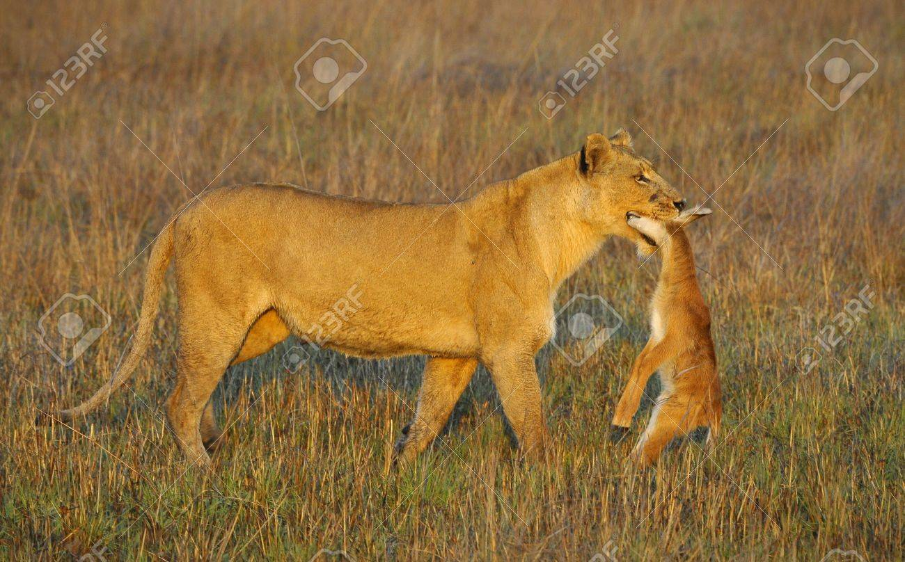 a lioness with new born antelope prey the lioness goes on savanna
