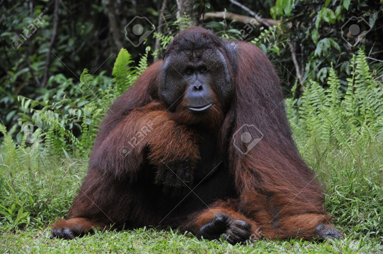 The adult male of the Orangutan. Portrait of the adult male of the orangutan in the wild nature. Island Borneo. Indonesia. Stock Photo - 9048992